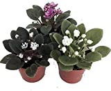 Three African Violet Plants- Assorted Colors by JMBAMBOO