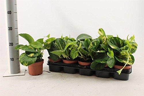 Blumen-Senf Efeutute 1 Pflanze / Epipremnum aureum / Zimmerpflanzen / rankend / Ampelpflanzen