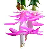 """9GreenBox - Pink Christmas Cactus Plant - Zygocactus - 4"""" Pot"""