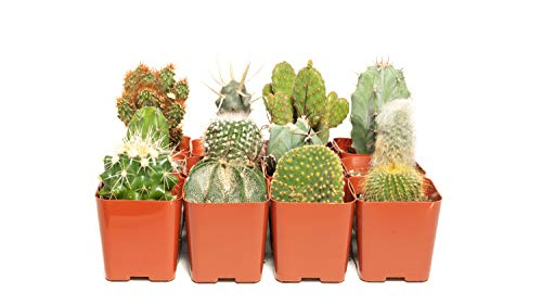 Cacti Assorted Pack (36) - Decorate Your Home/Garden with A Variety of Healthy Live Cactus by Jiimz