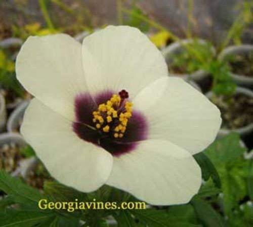 vegherb Hibiscus cannabinus Amethyst Rare 10 Samen