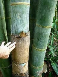 100x Frische Riesenbambus Samen mit Anleitung (Dendrocalamus Giganteus)