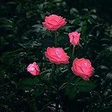 Luz solar decorativa, lámpara con forma de flor color de rosa, adorno para jardín de patio, a prueba de lluvia al aire libre, Rosado
