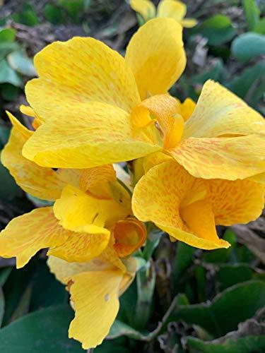 Indisches Blumenrohr - Gelb - Canna Indica - 5 Frische Samen