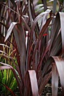 Fresh Seeds -Phormium Marshas Red | 10_Seeds