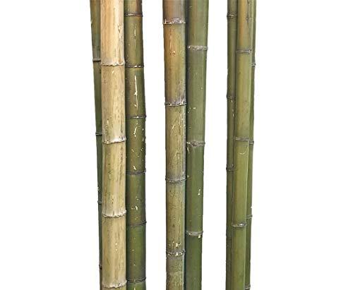 1 caña de bambú Moso verde natural con un diámetro de aprox. 5 a 6 cm, longitud aprox. 180 cm.