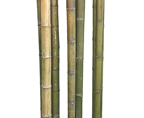 bambus-discount.com 1 Stück Bambusrohr grün naturfarben 180cm mit Durch. 4 bis 5cm, Moso unbehandelt