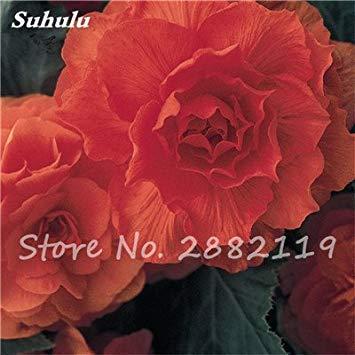 VISTARIC 19: Double Dahlia Seed Mini Mary Fleurs Graines Bonsai Plante en pot bricolage jardin odorant Fleur, croissance naturelle de haute qualité 50 Pcs 19