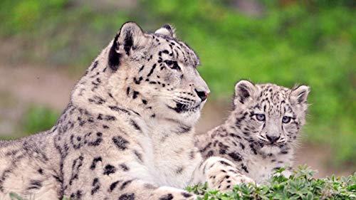 Juego De Rompecabezas De 1500 Piezas Madre E Hijo Leopardo Puzzles Interesantes 34.3x22.4in(87x57cm)