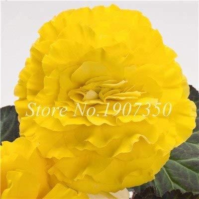 Shopmeeko Graines: 100 Pcs/Mitigé Begonia fleur en pot de bonsaïs d'intérieur Decoratie beau jardin mur usine Décoration pour l'arbre de Noël: 6