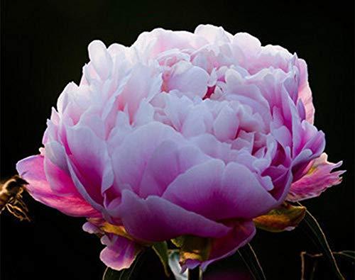 XINDUO Jardín Planta en Maceta perenne,Semillas de Flores de múltiples Plantas de peonía-cápsulas A2_30,Semillas Ornamentales de Hierba