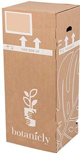 BOTANICLY | Gartenpflanze | Corokia Cotoneaster | 30 cm | Set aus 2 Pflanzen - 6