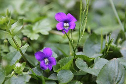 GETSO Samen-Paket Nicht Pflanzen: SEEDSViolet Samen, Duftveilchen, Bio-Violett, Seed