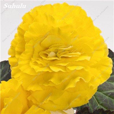 200 pcs/sac couleur Rare Begonia, Graines Bonsai Balcon Fleur, Plantes d'intérieur protection contre les radiations Bonsai graines, facile à cultiver 21