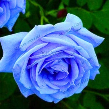 100 PC/Pack Seltene Holland Regenbogen-Rosen Pflanzen Blumen Home Garten seltene Regenbogen Rose Blume Bonsai, XB: Hellgrau