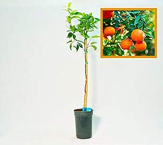 Amazon.es: arboles frutales enanos - Últimos 90 días: Jardín