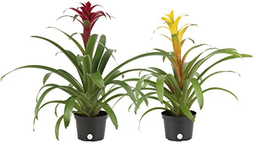 Costa Farms Blooming Bromeliad, Assorted Colors - Red, Pink, Orange, Yellow, Ships in 6-Inch Grower Pot, 2-Pack