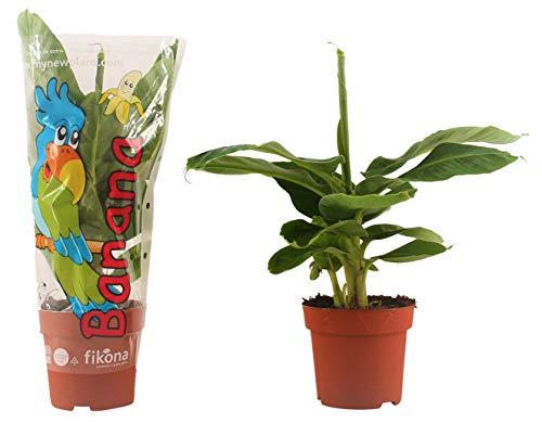 Kamerplanten van Botanicly – 2 × Bananen plant – Hoogte: 55 cm – Musa Tropicana