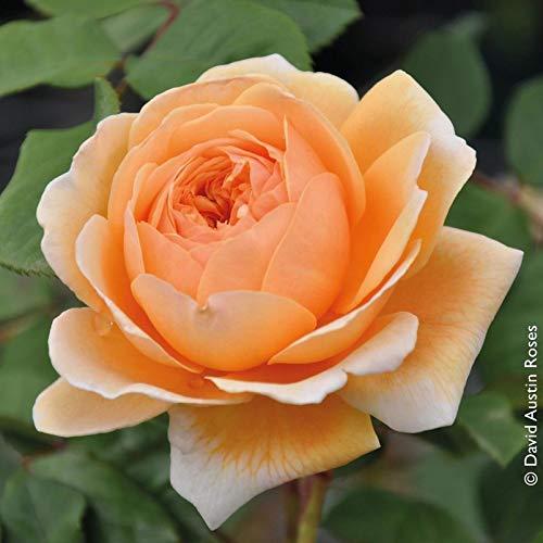 """Pflanzen Kölle Englische Rose """"Crown Princess Margareta"""" von David Austin - apricotfarben blühende, fruchtig duftende Topfrose im 6 L Topf - frisch aus der Gärtnerei Gartenrose"""