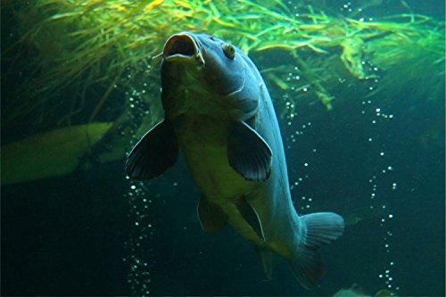 Fisch Karpfen Unterwasserwelt Bild XXL Wandbild Kunstdruck Foto Poster P1031 Größe 150 cm x 100 cm