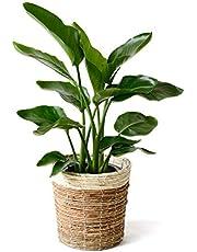 【鉢カバー付】観葉植物 8号鉢 アレカヤシ ユッカ・エレファンティペス サンスベリア・ローレンティー ポトス パキラ シュロチク