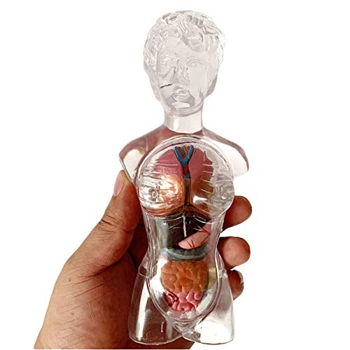 ZAMAX Modelo de Estudio Modelo anatómico del Torso Femenino Humano - 13 Partes - 42 cm Anatomía Humana Modelo troncal Transparente - Ayuda de la enseñanza médica de la enseñanza