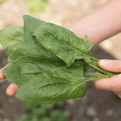 David's Garden Seeds Spinach Flamingo 4665 (Green) 500 Non-GMO, Hybrid Seeds