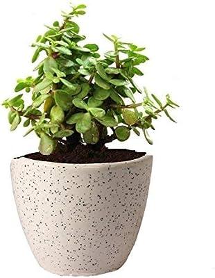ARYANA ENTERPRISES Lucky Jade Plant with Pot AIR Purifier