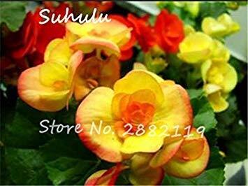 Rose Rieger Begonia Samen 50 PC Malus Spectabilis Topf Seed Seltene Balkon Terrasse Blumensamen für Hausgarten pflanzt Leicht 8 wachsen