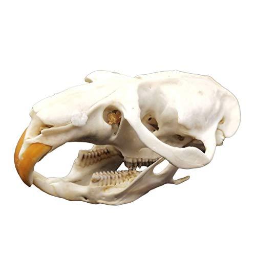 FSFF Espécimen de cráneo de Mustela Altaica - Modelo de cráneo de Rata Real - Adorno de cráneo de Animal - para Bar Decoración del hogar Colección de Arte Herramienta de enseñanza Veterinaria