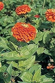 TOMHY Seeds Package: Germination Seeds PLATFIRM-50 Seeds of Zinnia Benary Orange Annual