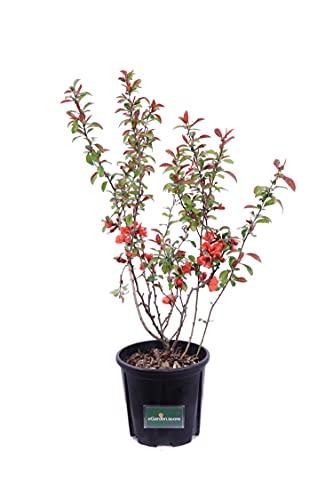 Pianta di Chaenomeles Pianta di Cotogno Giapponese pianta da esterno pianta da giardino pianta da siepe pianta vera di Chaenomeles venduta da eGarden.store (Speciosa Friesdorfer)