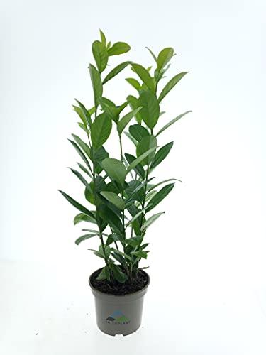 Kirschlorbeer,Heckenpaket, 10 Stück, Prunus lauroc. Novita, 60-80 cm, im 2-l-Container (C2, Ø 17cm), Topfgewachsen