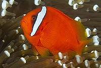 【海水魚/観賞魚/スズメダイ】 ハマクマノミ ※国産ブリード ■サイズ:3cm± (1匹)