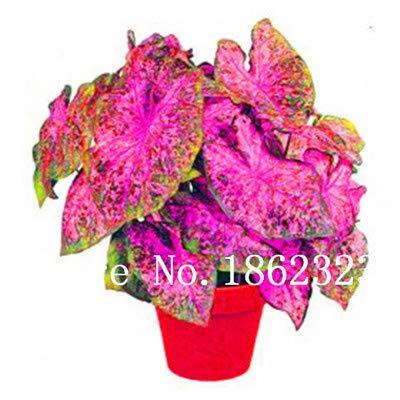 prime vista 100 Stücke Caladium Bonsai Caladium Bicolor Blume Bonsai Zimmerpflanzen Bonsai Colocasia Pflanzen Für Hausgarten topfpflanze: 12