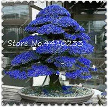 Großer 50 PC-Bonsai Japanische Zedern-Baum Zierbaum Bonsai everygreen Woody für Hausgarten-Topf Semillas Bonsaipflanzen: i