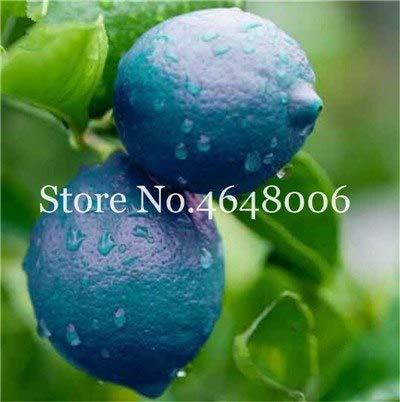 Bloom Green Co. 50 Pcs comestibles de fruits Meyer Citron Bonsai plantes exotiques colorés Citrus Limon fruits frais Arbre Plantes potagères Taux élevé de survie: h
