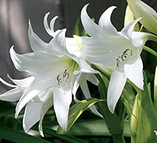 Plant House Live Lily White Charming Flower Plant With Pot