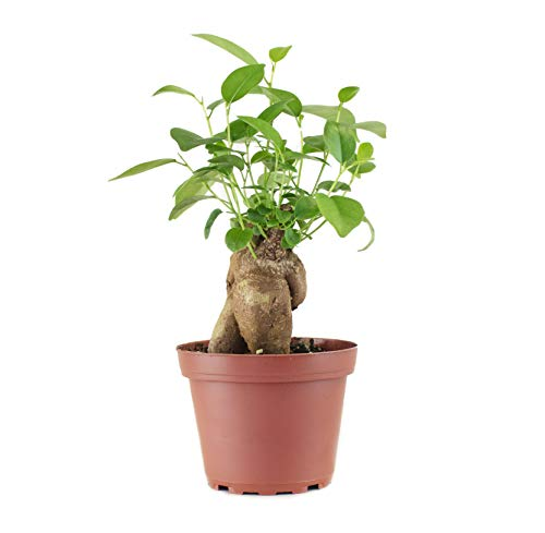 Shop Succulents | Standing Collection Indoor House Plant Hand Selected, Air Purifying Live Ginseng, 4-Inch, Ficus Lyrata
