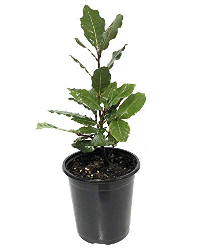 Ohio Grown Sweet Bay Laurel Herb - Laurus nobilis- 4' Pot