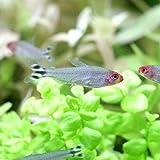 (熱帯魚)ラミーノーズ・テトラ(ブリード)(12匹) 北海道航空便要保温