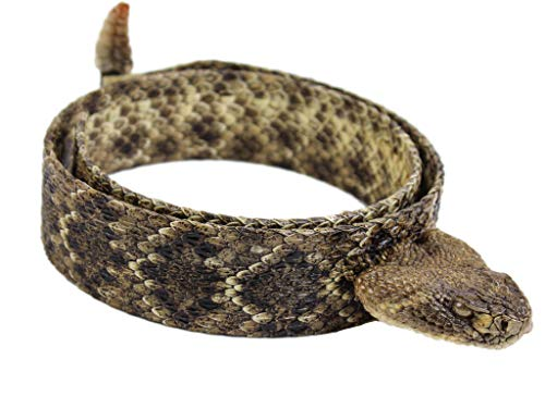 1.25' Real Texas Western Rattlesnake Hat Band with Head & Rattle - Closed Mouth (598-HB204C)