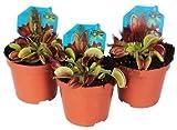 DECOALIVE Trio de Plantas Carnívoras Venus Atrapamoscas Dionaea Muscipula Pack de 3 Unidades