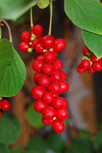 Schisandra chinensis 10 Samen Wu-Wei-Zi, chin. Heilpflanze, Magnolien Wein