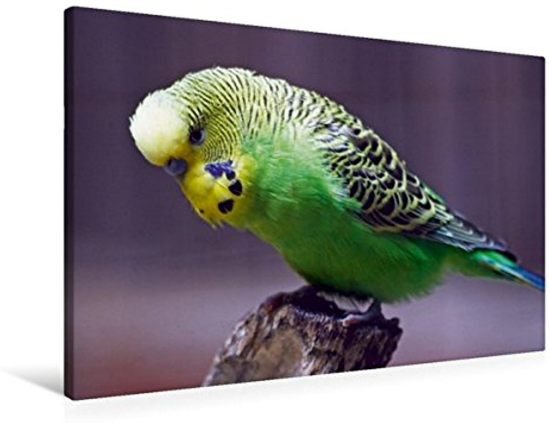 Calvendo Premium Textil-Leinwand 90 cm x 60 cm quer, EIN Motiv aus dem Kalender Wellensittiche   Wandbild, Bild auf Keilrahmen, Fertigbild auf echter Leinwand, Leinwanddruck Tiere Tiere