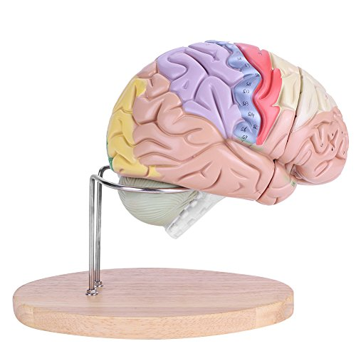 Brain Model, Medical More Quickly Anatomical Brain Model, for Kids Medical