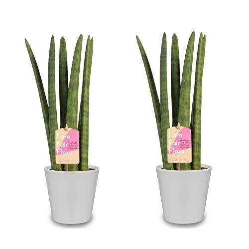 Zimmerpflanzen – 2 × Sansevieria Cylindrica in weißem Übertopf als Set – Höhe: 40 cm