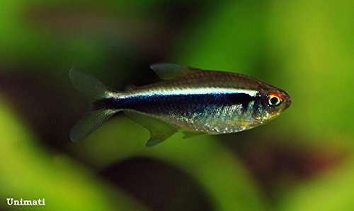 Aquarium Plants Discounts 4 Black Neon Tetra 3/4' to 1-1/2' - Freshwater Live Tropical Fish