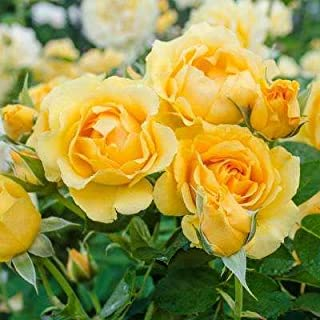 EaglesFord Rare Grafted Flower Yellow Climbing Rose Plant (2 Healthy Plants in Polybag)