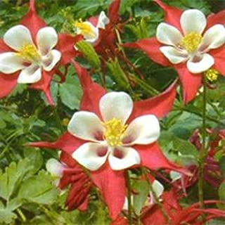 Outsidepride Columbine Crimson Star - 1000 Seeds